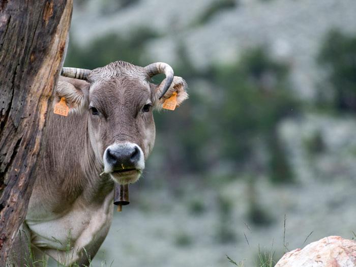 Vaca Refugi Ulldeter